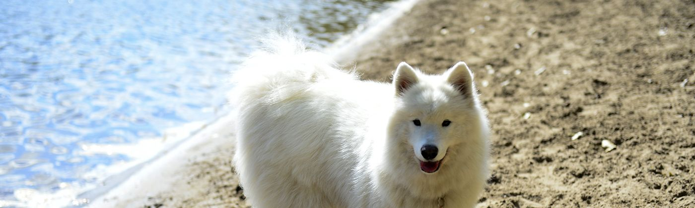 samoyed at minnehaha dog park