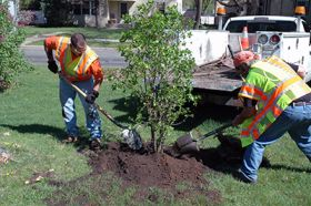 Tree Planting in Minneapolis