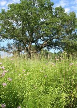 Native Plant Communities - Oak Tree
