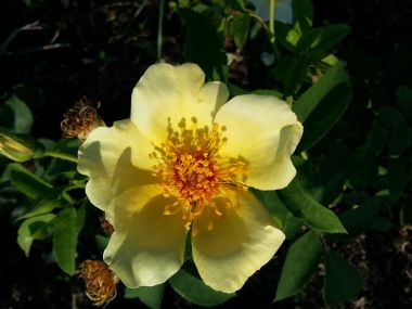 rose_garden_hardy_shrub_golden_wings