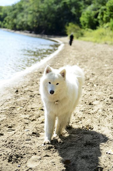 Minnehaha_Dog_Park_samoyed