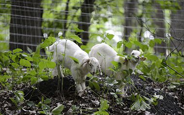 invasive species eating goats