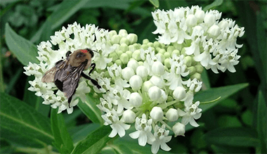 Bee on Asclepias 'Ice Ballet'