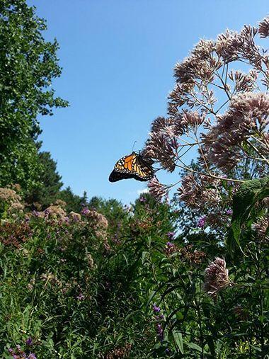 Monarch Butterfly Enjoying A Joe Pye Weed