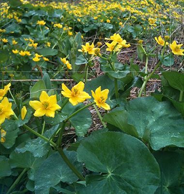 Marsh marigolds in wetland garden