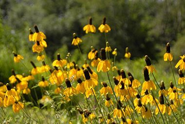 Prairie coneflower blooming on a summer's day