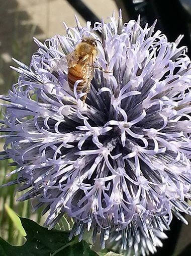 Bee on annual Echinops