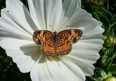 Fritillary butterfly on annual Cosmos 'Sonata White'