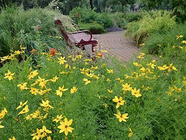 Perennial Coreopsis in the yellow wedge