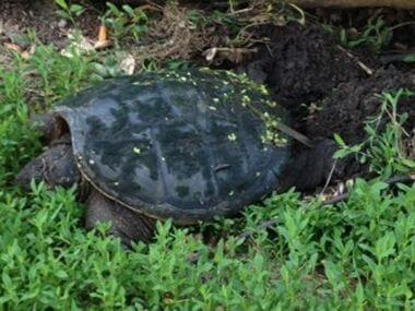 Snapper turtle laying eggs
