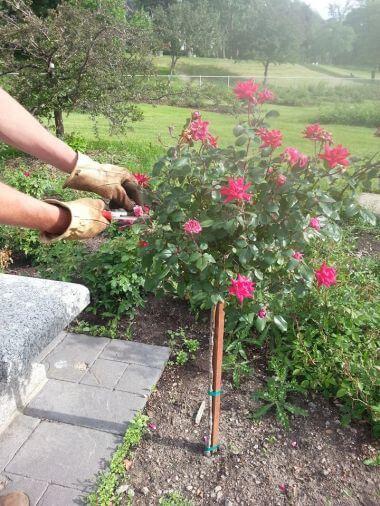 Rose Garden Deadheading