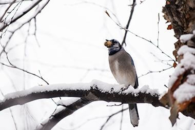 Native birds in snow covered branches