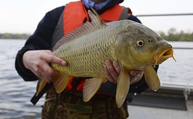 Lake Nokomis Carp Electrofishing and Tagging